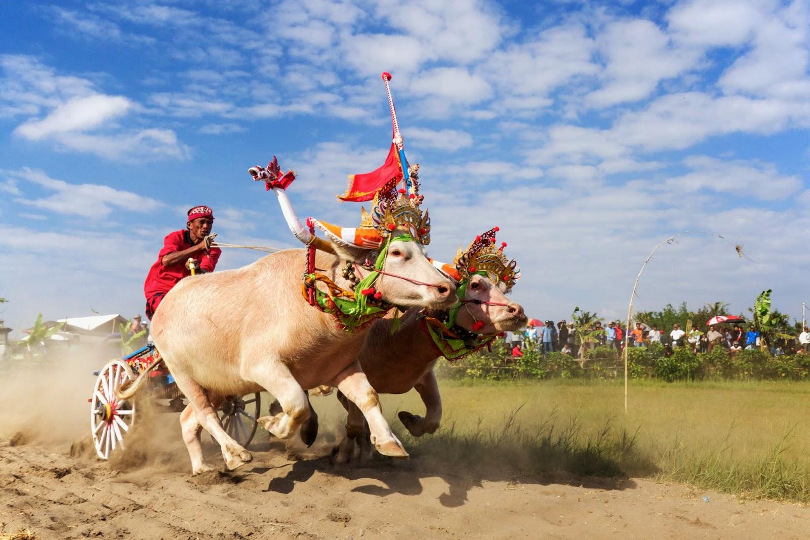 La corsa dei bufali di Bali: Makepung Buffalo Races