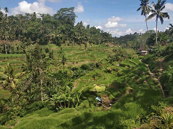 terrazze di riso nord Ubud